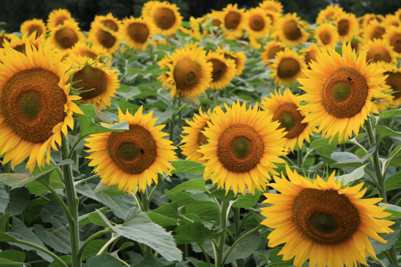 And so they are often called sunflowers. We inevitably associate them with  summer and early autumn days 0b8ab5f1bd207